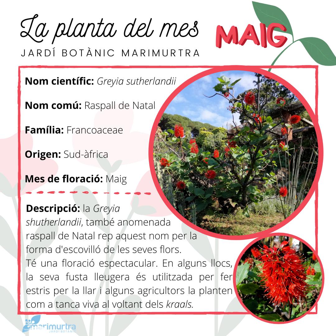Planta del mes Marimurtra - maig