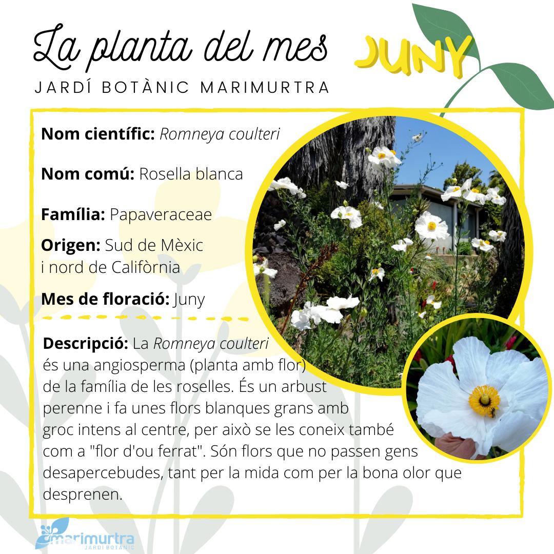 Planta del mes Marimurtra - juny
