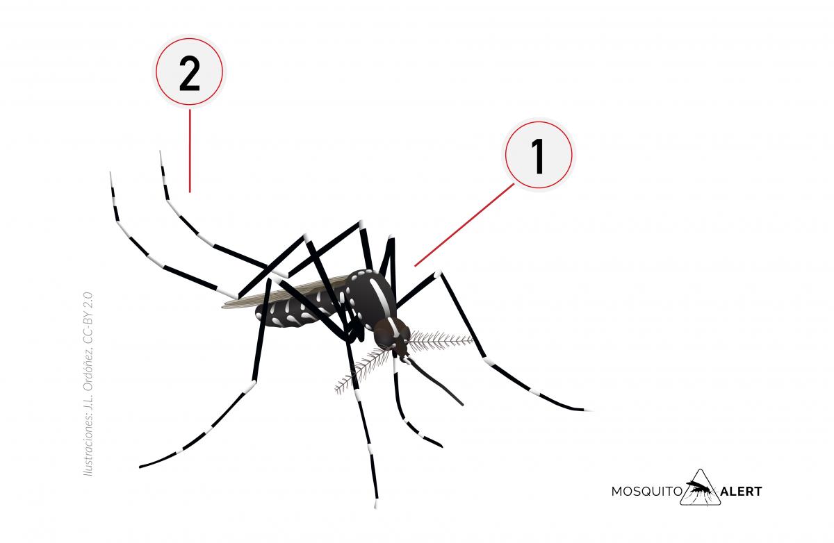 mosquit marimurtra