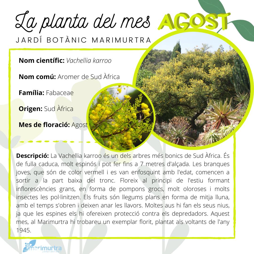 Planta del mes agost Marimurtra