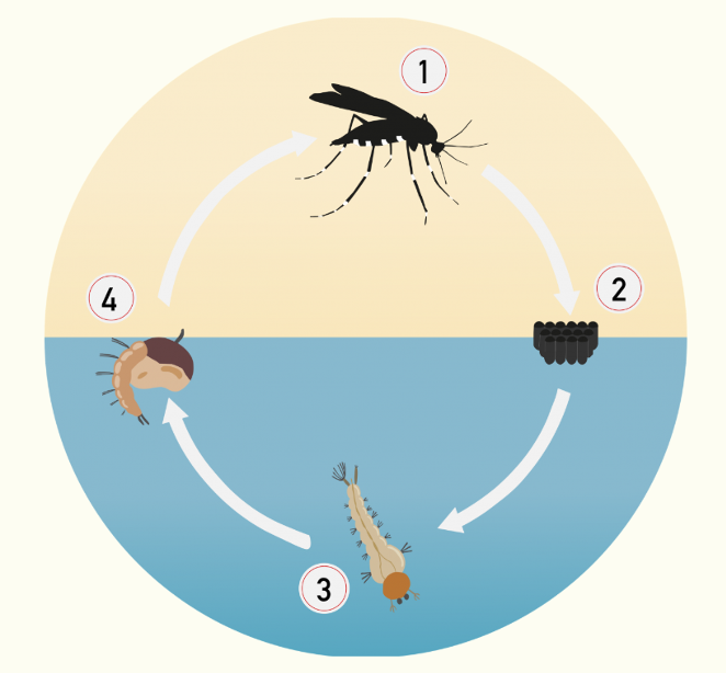 cicle vida mosquit tigre marimurtra