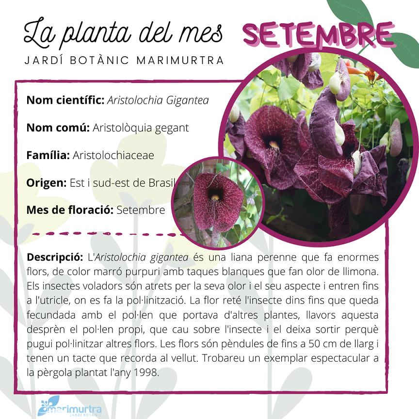 La planta del mes de setembre - Marimurtra