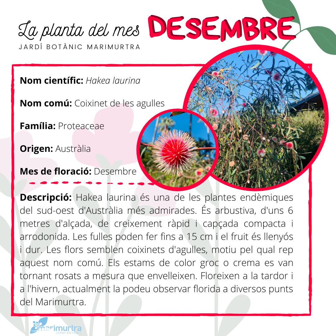 La planta del mes desembre Marimurtra
