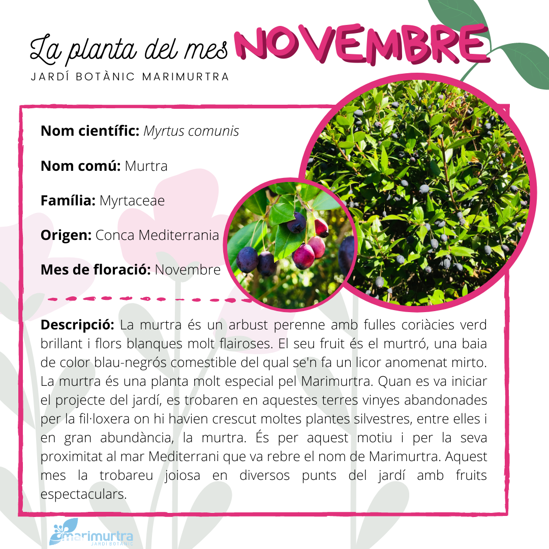 La planta del mes novembre marimurtra
