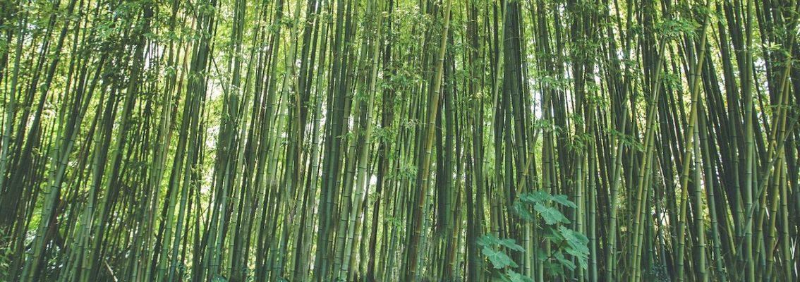 Bosc de bambus Marimurtra